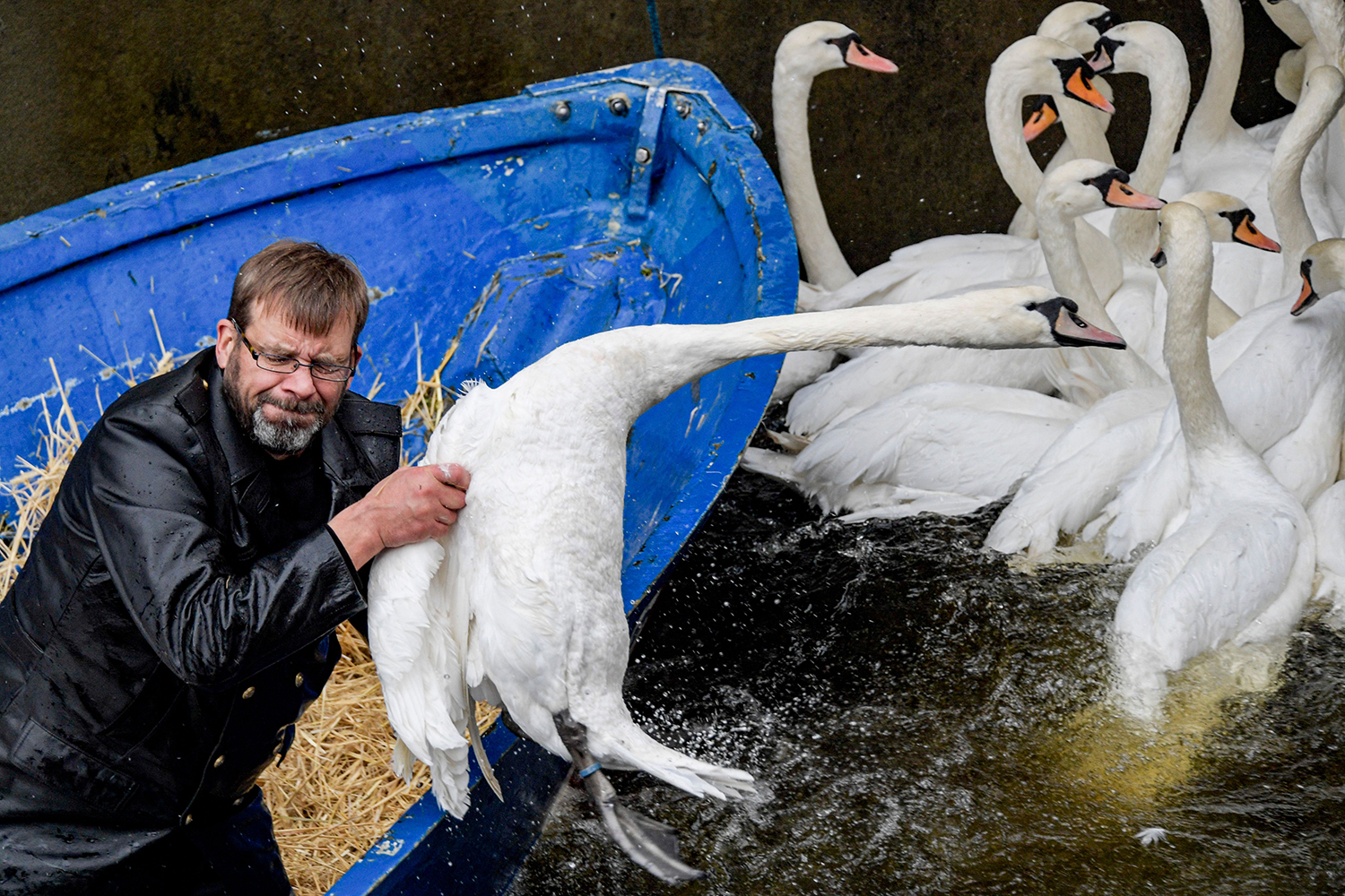 """Hamburg's """"Swan Father"""" Olaf Niess catches a swan as swans are rounded up on the river Alster in Hamburg, Germany, on Nov. 19. The swans are being moved to their ice-free winter home. AXEL HEIMKEN/dpa/AFP via Getty Images"""