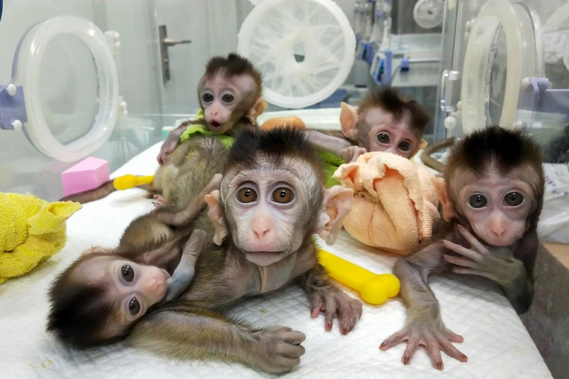 Five cloned macaques at a Chinese research institution