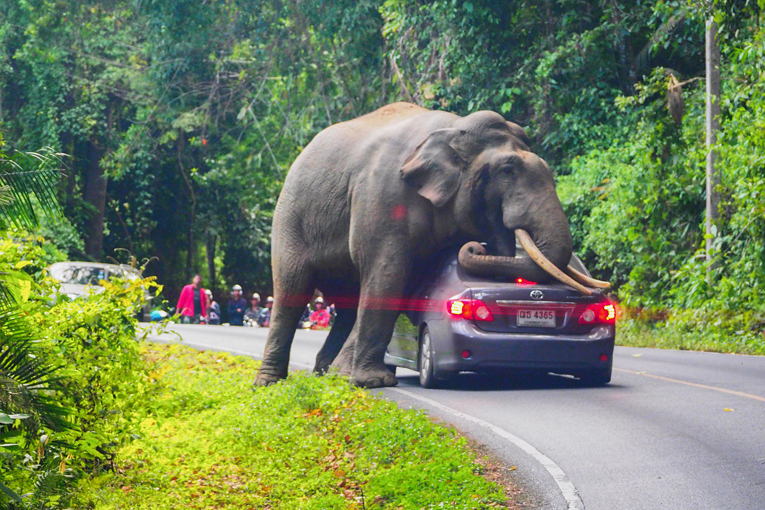 A wild elephant stops a car on a road at Khao Yai National Park in Thailand's Nakhon Ratchasima province on Oct. 29. The driver escaped unhurt with his car slightly damaged. PRATYA CHUTIPASKUL/AFP via Getty Images