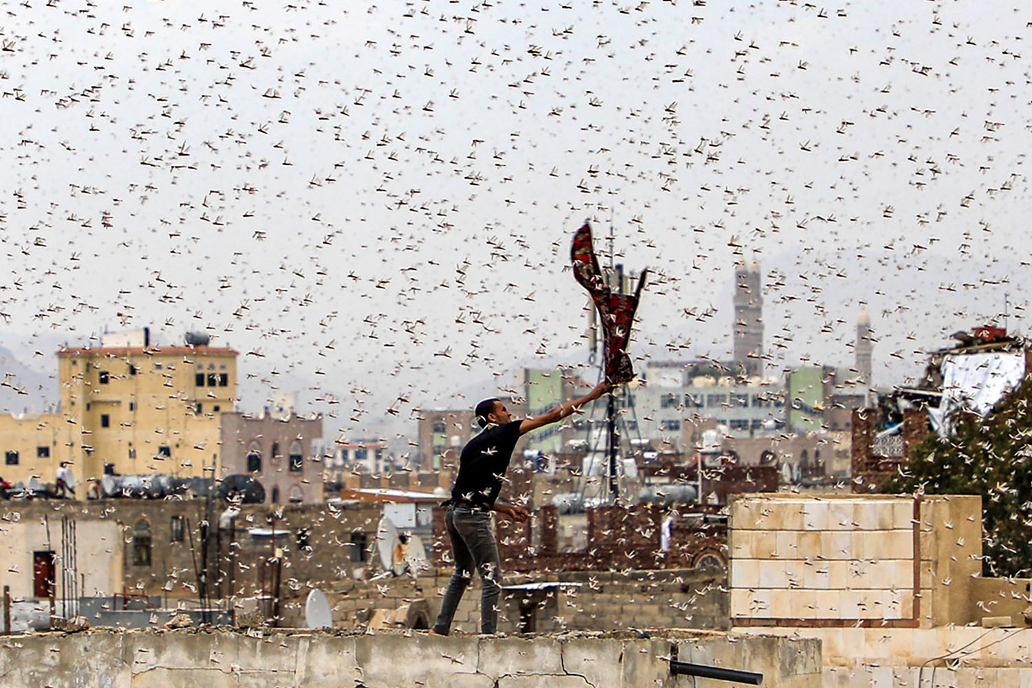 A man tries to catch locusts while standing on a rooftop as the bugs swarm over the Huthi rebel-held Yemeni capital Sanaa on July 28. MOHAMMED HUWAIS/AFP via Getty Images