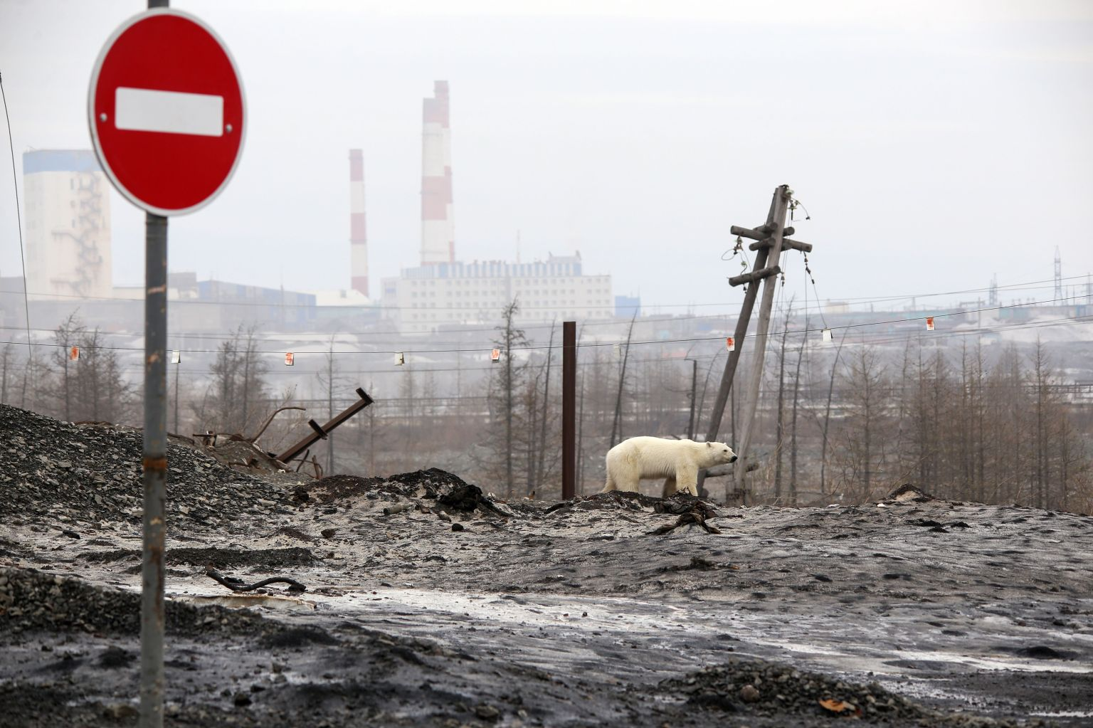 A polar bear wanders the outskirts of the Russian industrial city of Norilsk, hundreds of miles from its natural habitat, on June 17. IRINA YARINSKAYA/AFP/Getty Images