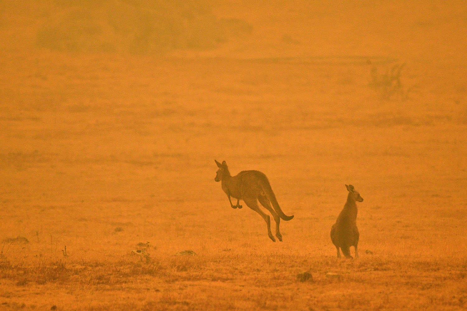 Kangaroos hop through a field filled with smoke from a bushfire in Snowy Valley on the outskirts of Cooma, Australia, on Jan. 4. SAEED KHAN/AFP via Getty Images