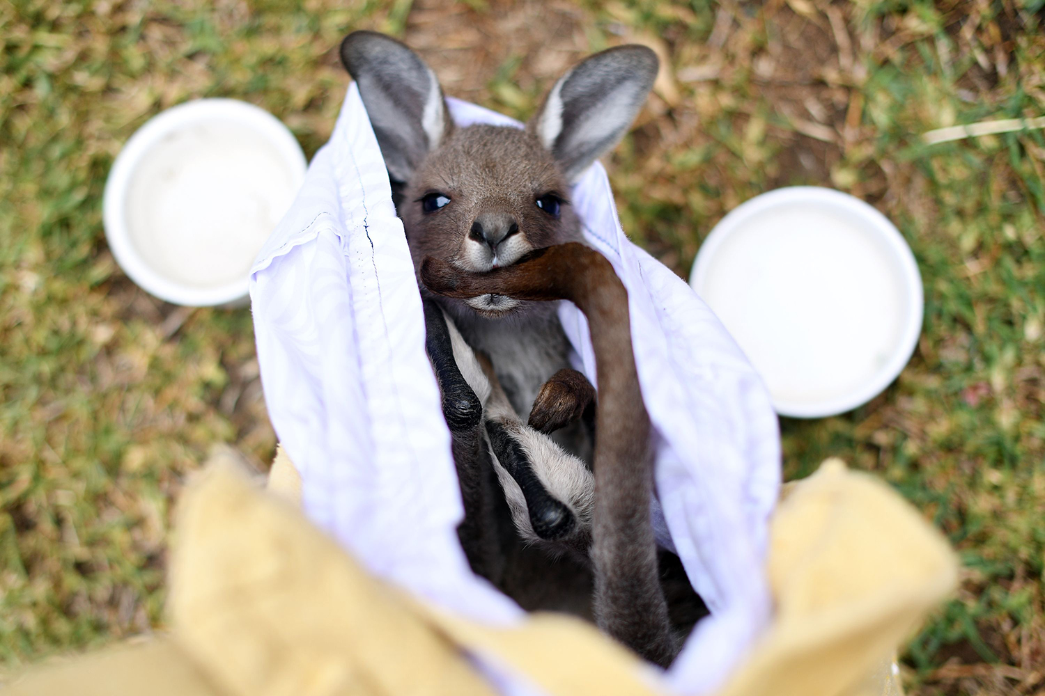 A kangaroo is cared for by volunteers of a wildlife rescue group who are working to save and rehabilitate animals from the months-long bushfires outside Sydney on Jan. 9. SAEED KHAN/AFP via Getty Images