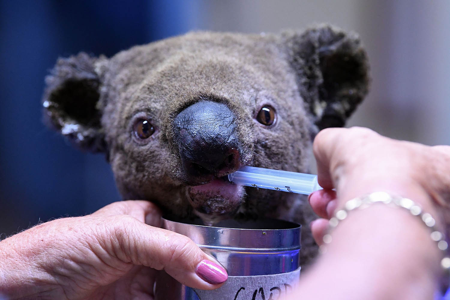 A dehydrated and injured koala receives treatment after its rescue from a bushfire at the Port Macquarie Koala Hospital on Nov. 2, 2019. SAEED KHAN/AFP via Getty Images)