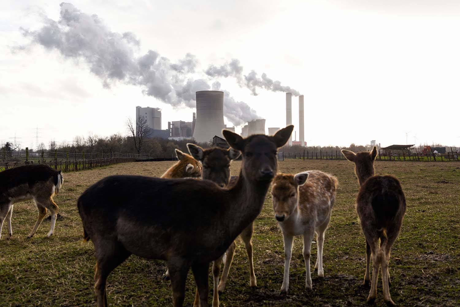 Deer stand in a field near a coal power plant of German energy giant RWE in Niederaussem, western Germany, on Jan. 29. Bowing to public pressure on climate change, Germany pledged to speed its exit from coal power generation. INA FASSBENDER/AFP via Getty Images