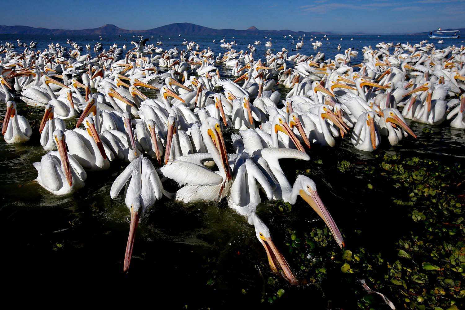 Migratory white pelicans from Canada and the United States gather on the shore of the Chapala lagoon in Cojumatlan, Mexico, on Jan. 28. ULISES RUIZ/AFP via Getty Images