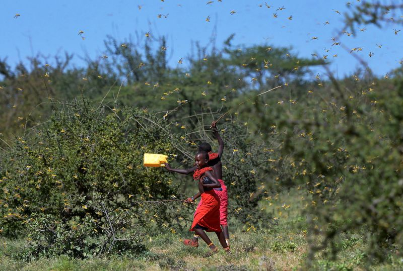 Locusts take flight from ground vegetation as young girls run toward their cattle at Larisoro village near Archers Post, Kenya, on Jan. 21.