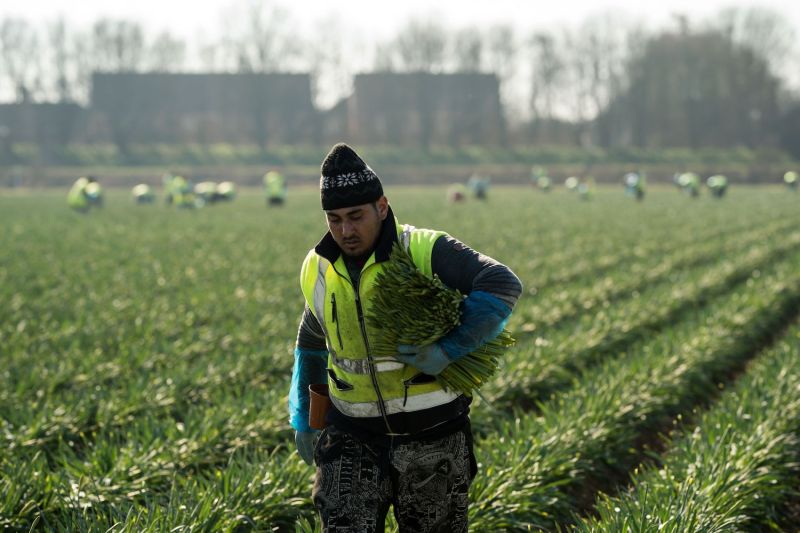 Migrant workers from Romania harvest daffodils near Holbeach in eastern England, on Feb. 25, 2019.