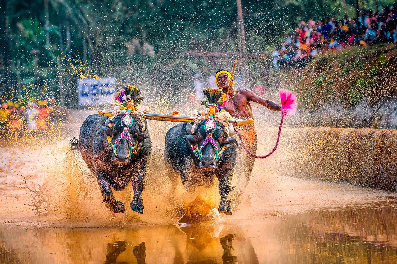 Srinivas Gowda district runs alongside his buffalos during Kambala, the traditional buffalo racing event held near Mangalore, Karnataka, India, on Jan. 31.