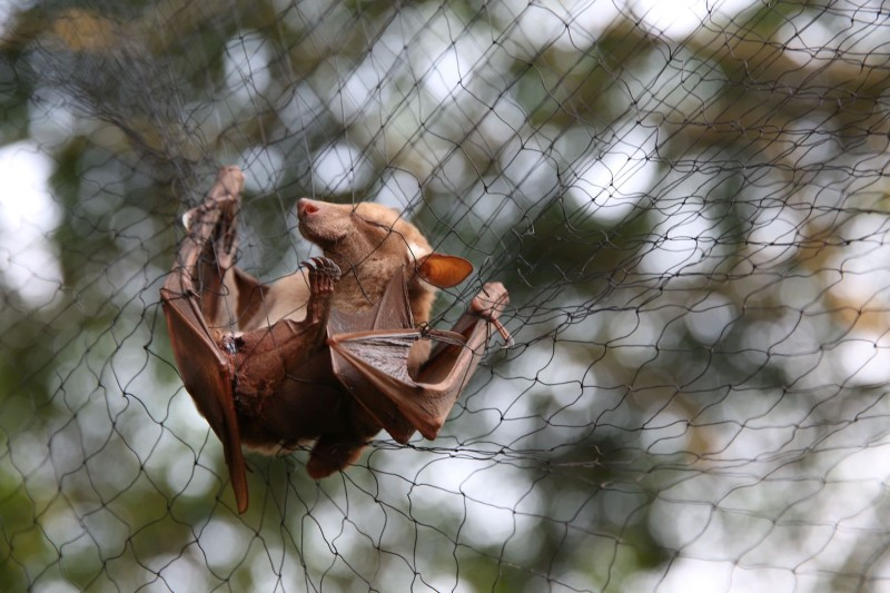 Bats are trapped in nets to be examined for possible viruses in Gabon.