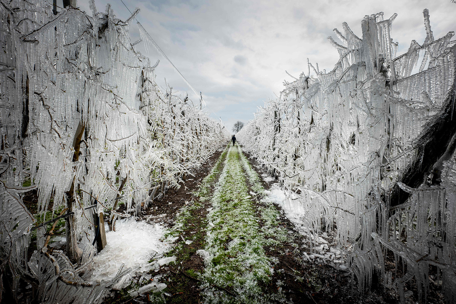 A man walks through an alley of artificially frozen apple trees in an orchard outside the village of Miloslavov-Alzbetin Dvor, Slovakia, on March 25. Apple growers protect the blooming apple flowers from freezing during the night's low temperatures by icing them with over-tree sprinkler systems. JOE KLAMAR/AFP via Getty Images