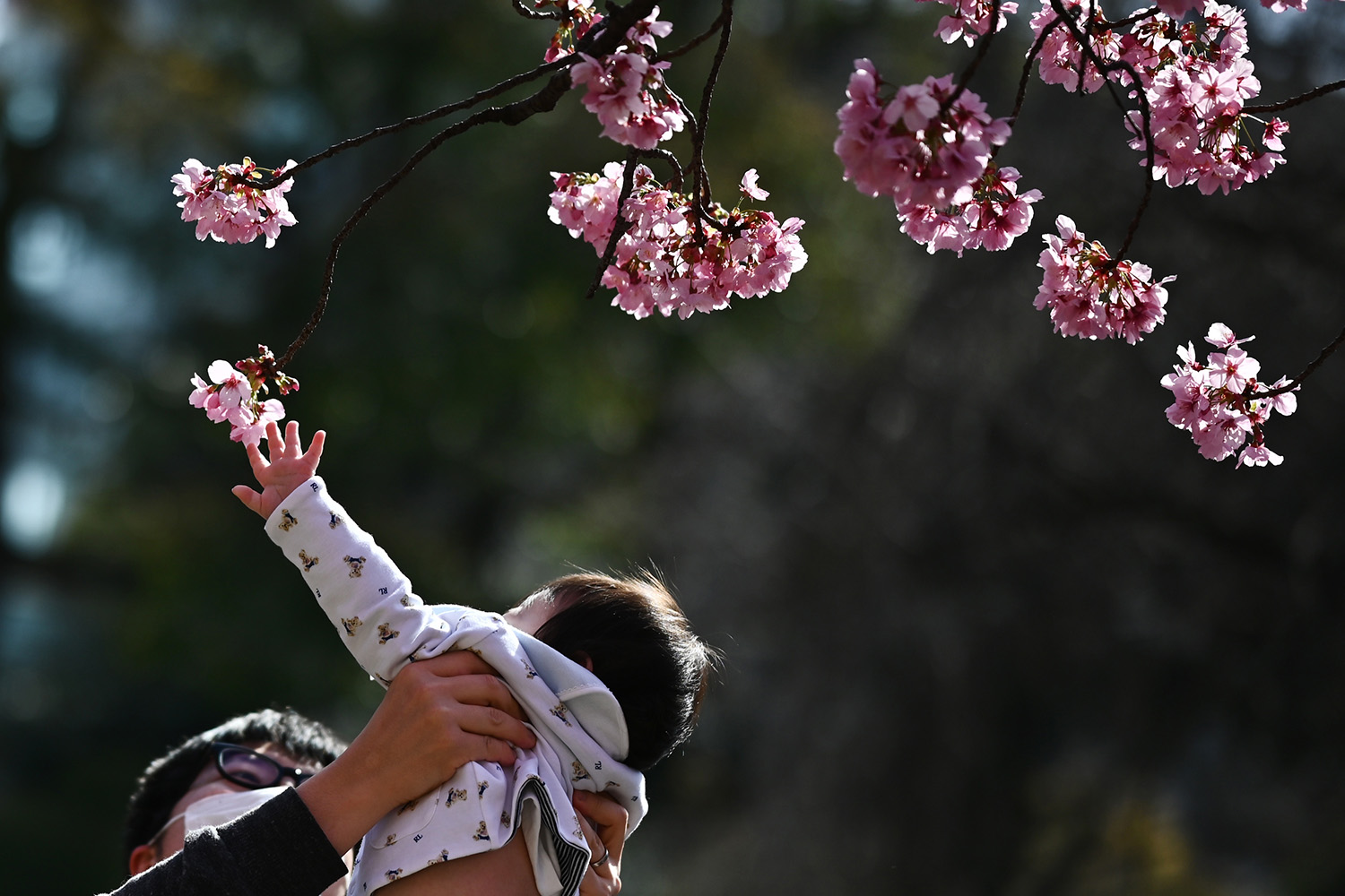 A child reaches up to touch the cherry blossoms at Ueno Park in Tokyo on March 21. CHARLY TRIBALLEAU/AFP via Getty Images