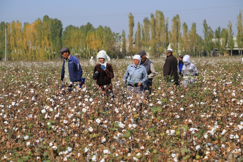 Cotton growers walk in a cotton plantation.