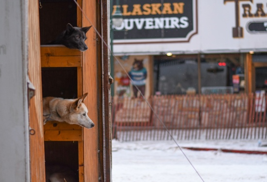 Two race dogs owned by competitive musher and Wisconsin native Kristy Berington peer out of a trailer on March 7.