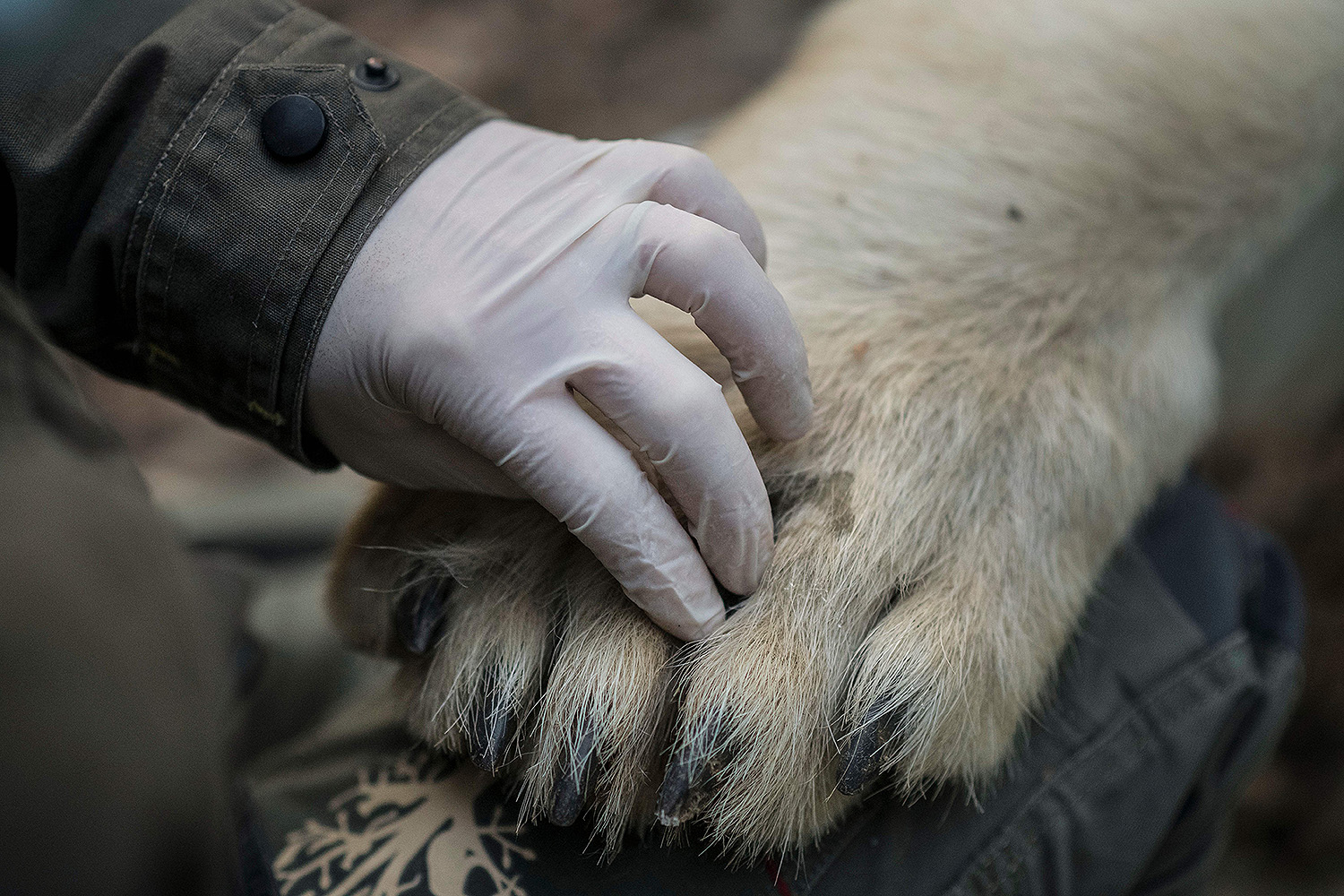 A veterinarian from the Mulhouse Zoo in eastern France examines the paws of a young sedated polar bear named Nanuq before transferring him to the Cerza Zoo in Normandy on April 9. SEBASTIEN BOZON/AFP via Getty Images