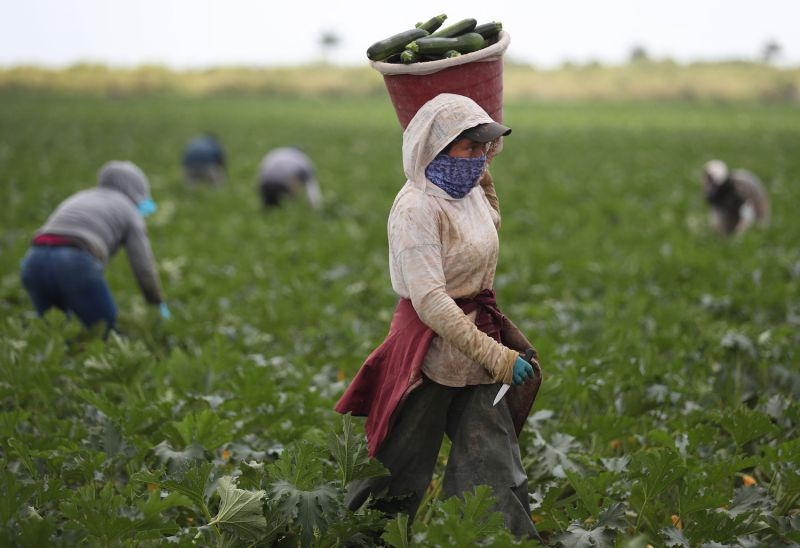 Farm workers harvest zucchini during the coronavirus pandemic