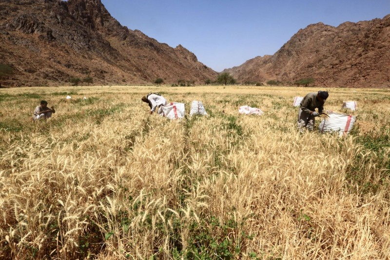 Farmers harvest wheat in a field in Tabuk in April 2016. The province has been tapped for the location of a high-tech megacity called Neom.