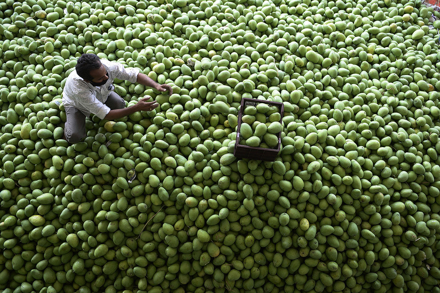 A man sorts raw mangoes at the Gaddiannaram fruit market on the outskirts of Hyderabad, India, on April 16. NOAH SEELAM/AFP via Getty Images