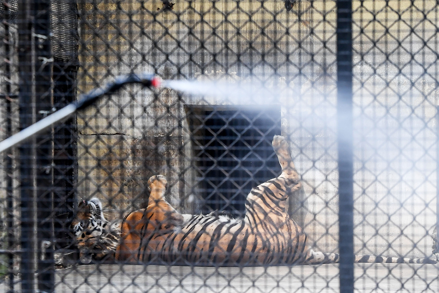 A worker sprays disinfectant near the tiger cages at Alipore Zoological Garden in Kolkata, India, on April 8. A tiger in New York City tested positive for the coronavirus earlier in the week. DIBYANGSHU SARKAR/AFP via Getty Images