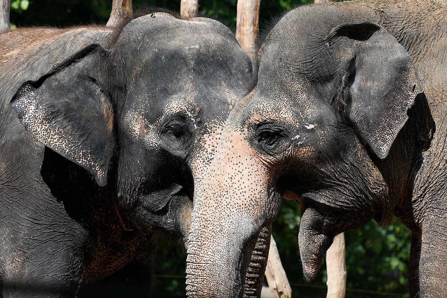 Asian elephants stand next to each other in their enclosure at Wilhelma, a botanical-zoological garden in Stuttgart, Germany, on May 20. THOMAS KIENZLE/AFP /AFP via Getty Images