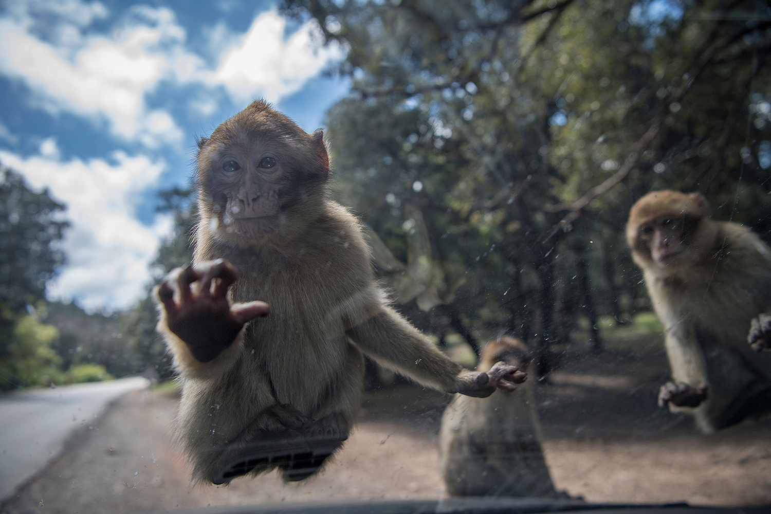 Barbary macaque monkeys looking for food climb on top of a vehicle on a road in the forest of Azrou, a protected natural reserve, near the Moroccan city of Ifrane, on April 29. FADEL SENNA/AFP via Getty Images