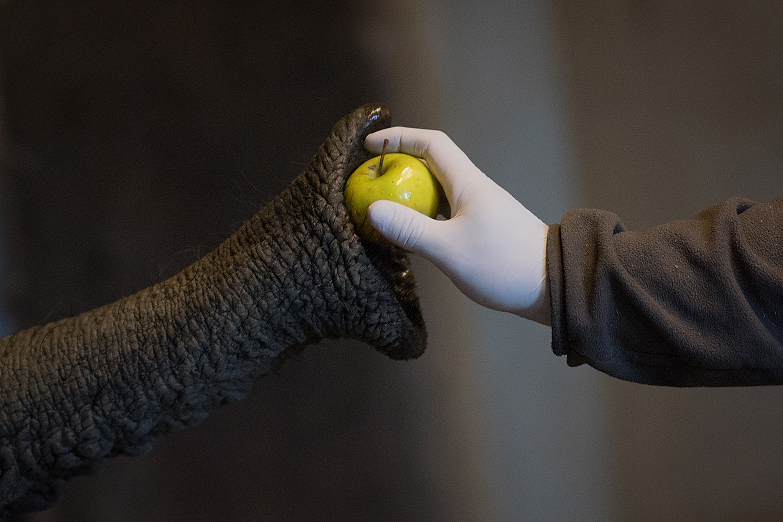 A worker feeds an elephant at the zoologic park Planète Sauvage in Saint-Père-en-Retz, outside Nantes, France, on May 6. LOIC VENANCE/AFP via Getty Images