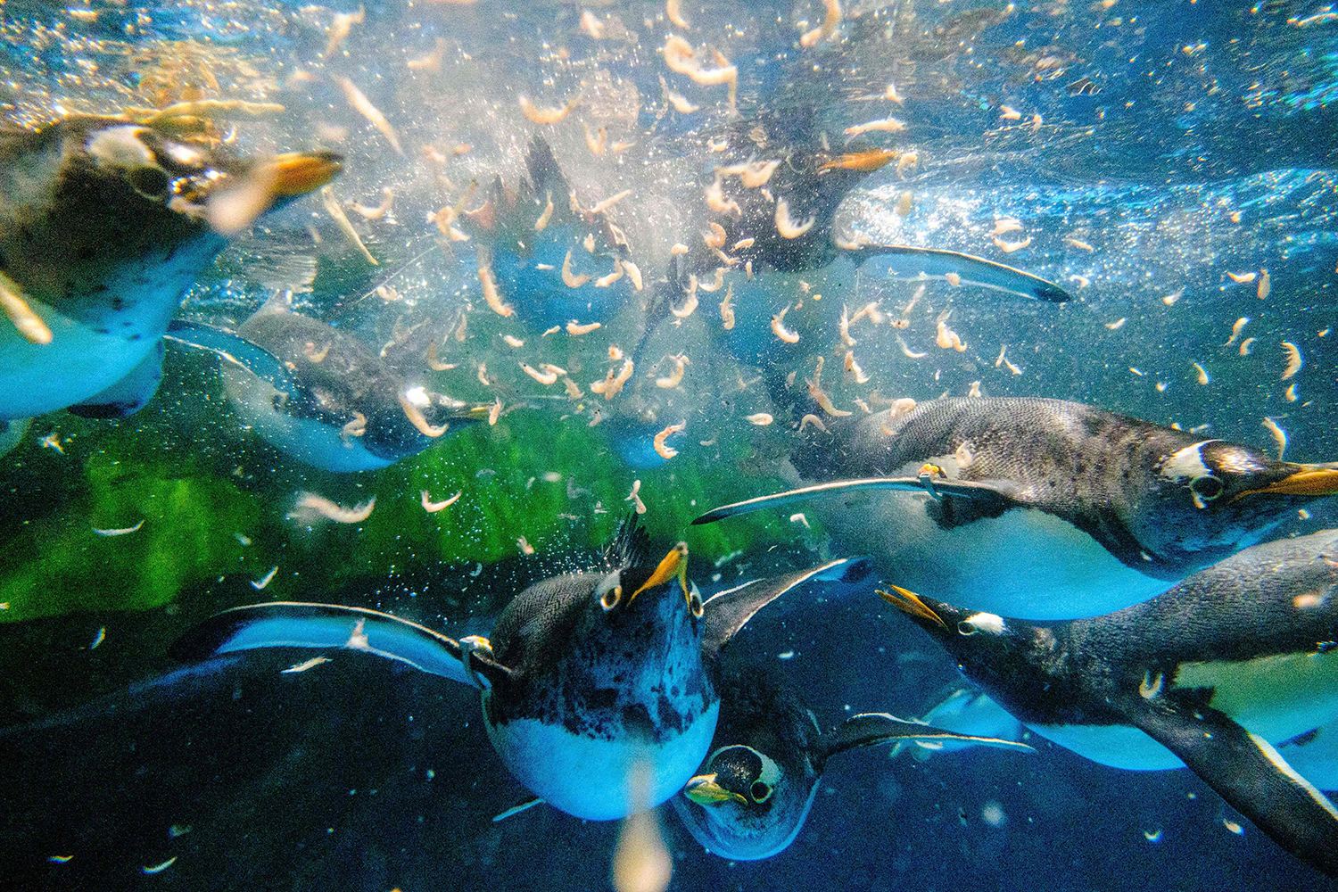 Gentoo penguins chase krill during feeding time in their enclosure at Ocean Park theme park in Hong Kong on May 4. ANTHONY WALLACE/AFP via Getty Images