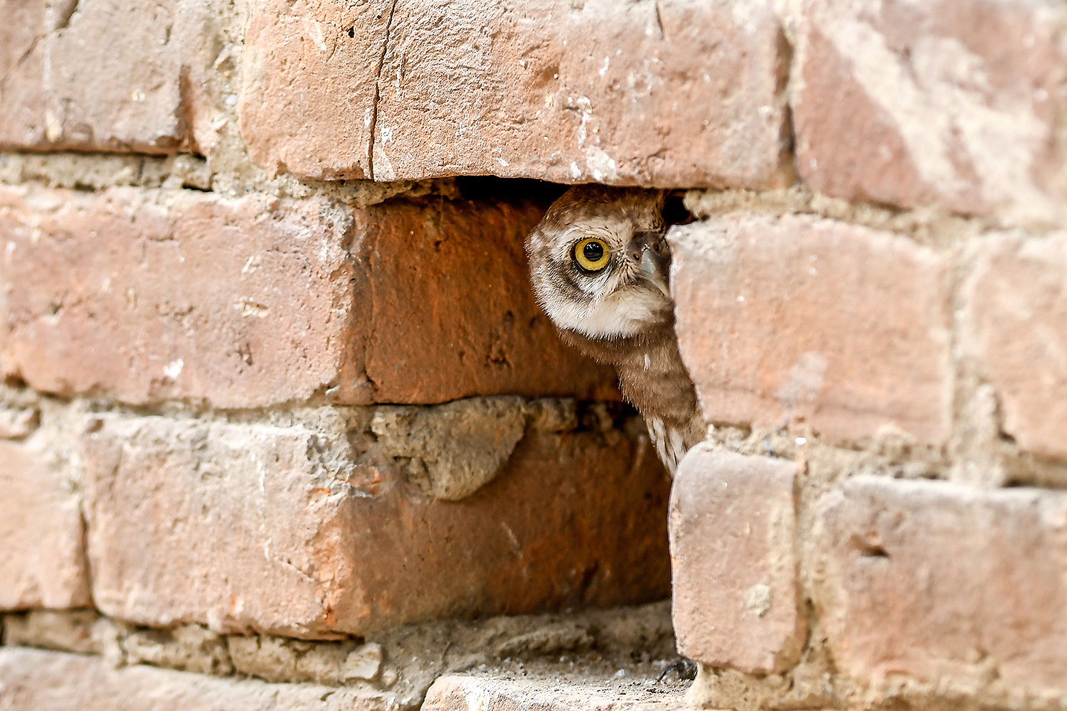 A spotted owlet takes a rest in a putlock hole of a wall in Kathmandu, Nepal, on May 10. PRAKASH MATHEMA/AFP via Getty Images