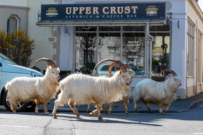 A herd of goats take advantage of quiet streets near Trinity Square, in Llandudno, north Wales, on March 31.