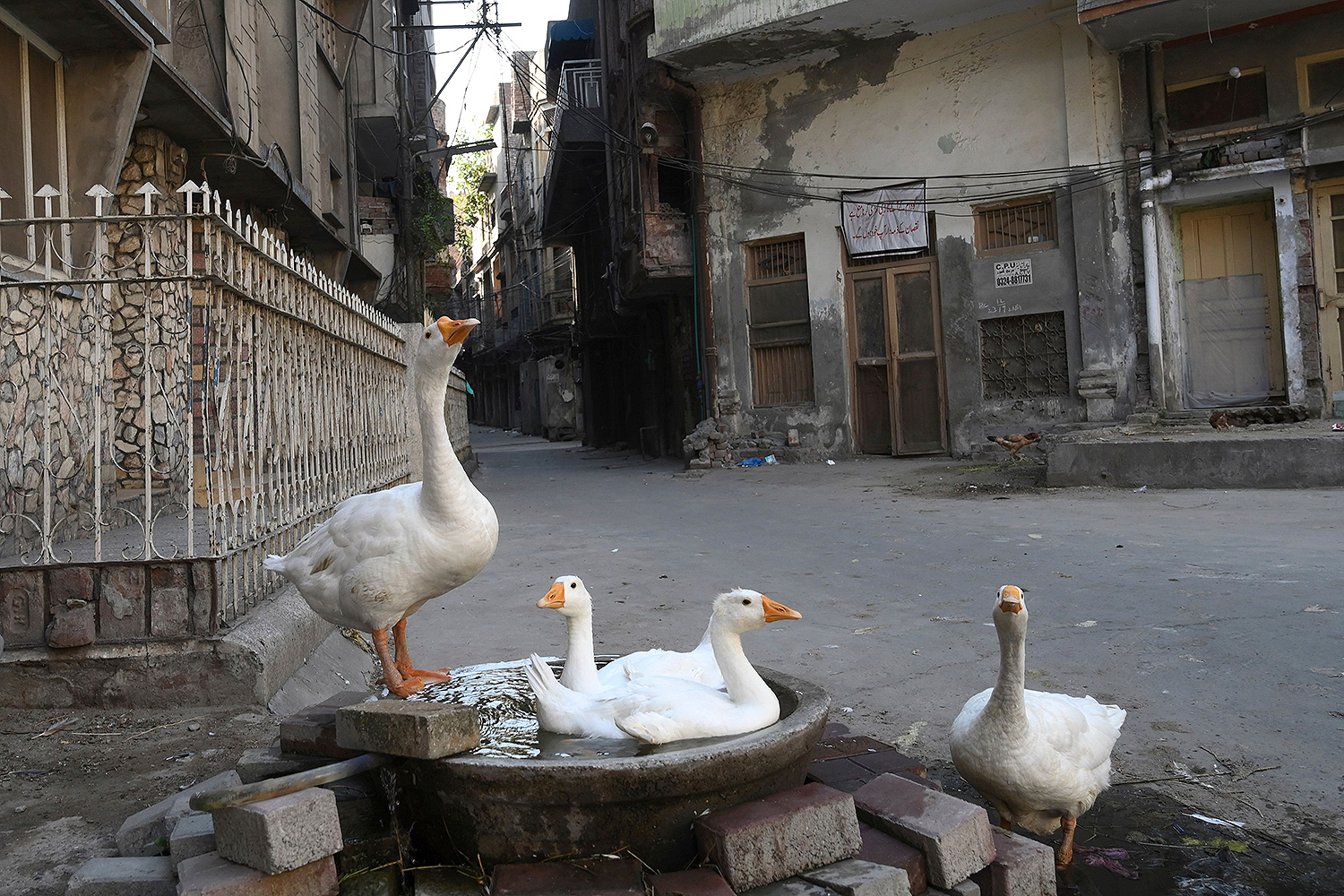 Ducks are seen in a deserted residential area of Lahore, Pakistan, on June 17 after the area was sealed off by authorities because of the coronavirus. ARIF ALI/AFP via Getty Images