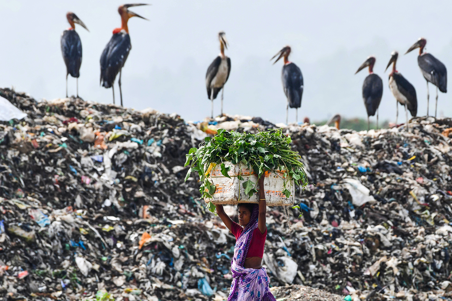 A woman carries food for her cattle past storks standing on top of a disposal site in Guwahati, India, on June 4. BIJU BORO/AFP via Getty Images