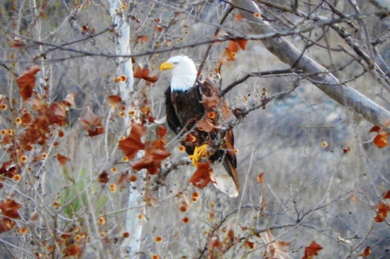 A bald eagle is pictured in Val Verde County, Texas.