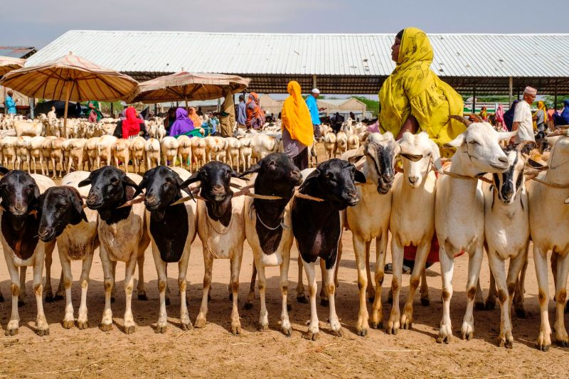 A livestock market in Hargeisa, Somaliland, on Aug. 18, 2018.