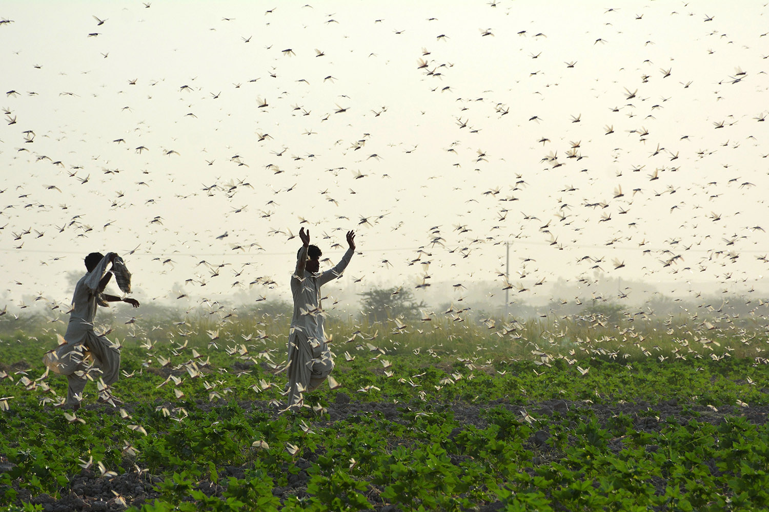 Farmers try to scare away a swarm of locusts from a field on the outskirts of Sukkur, Pakistan, on July 1. SHAHID ALI/AFP via Getty Images