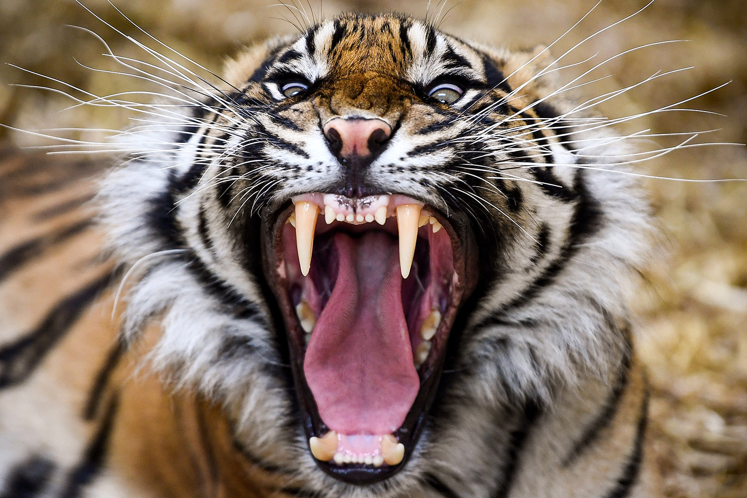 Dharma the Sumatran tiger yawns as members of the public return to Edinburgh Zoo in Scotland on June 29 for the first time since the coronavirus lockdown began. Jeff J. Mitchell/Getty Images