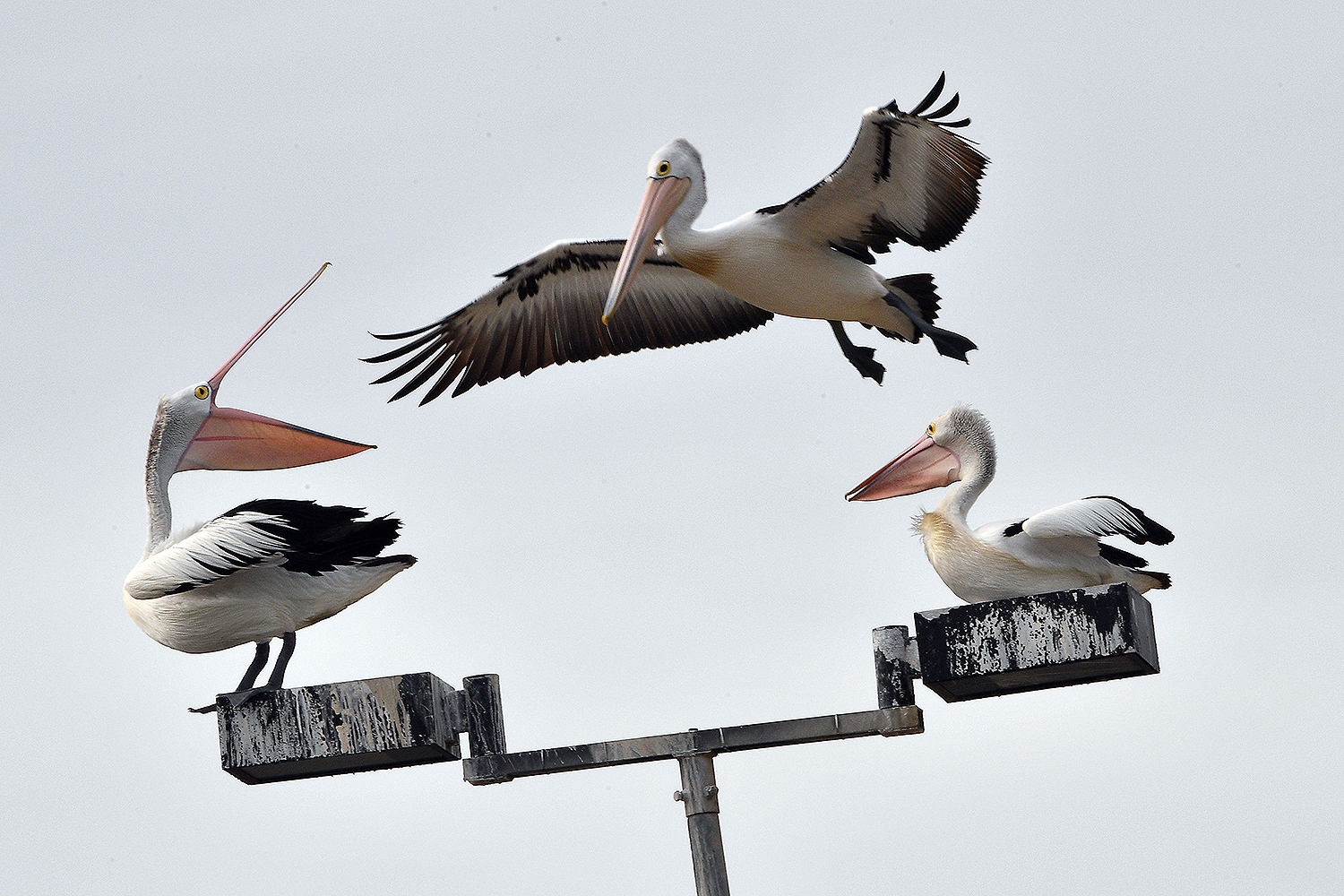 Pelicans hang out on a light pole on Botany Bay in Sydney, Australia, on Aug. 4. SAEED KHAN/AFP via Getty Images