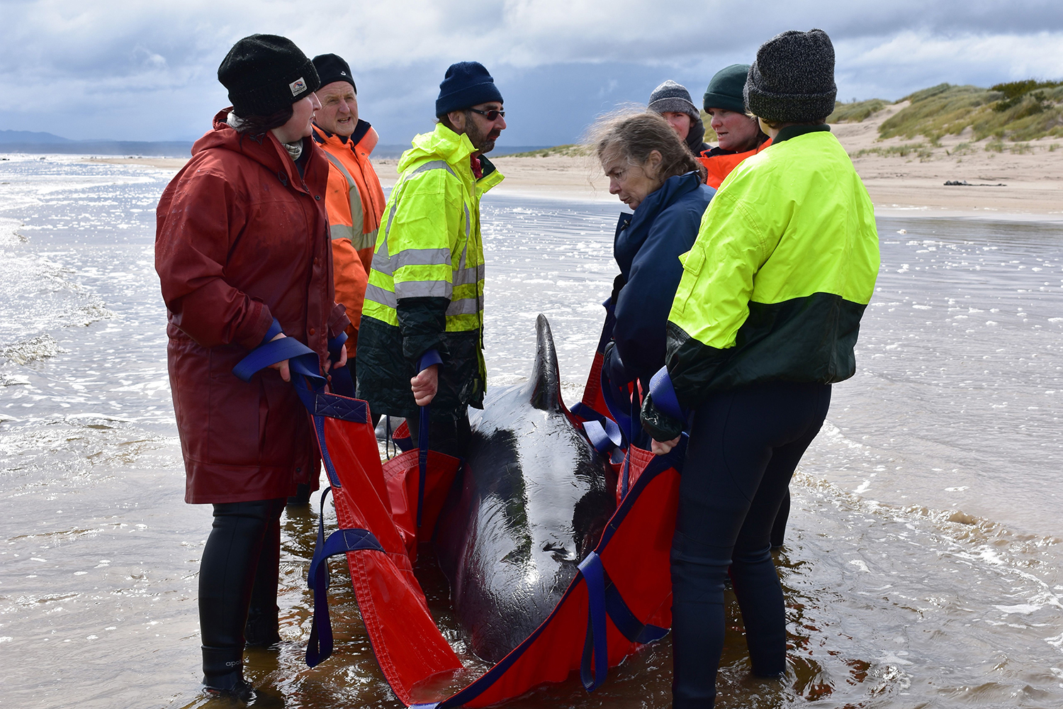 Rescuers work to save a whale on a beach in Macquarie Harbour on the rugged west coast of Tasmania on Sept. 25. Australian rescuers have been forced to euthanize some surviving whales from a mass stranding that killed 380 members of the giant pod. MELL CHUN/AFP via Getty Images