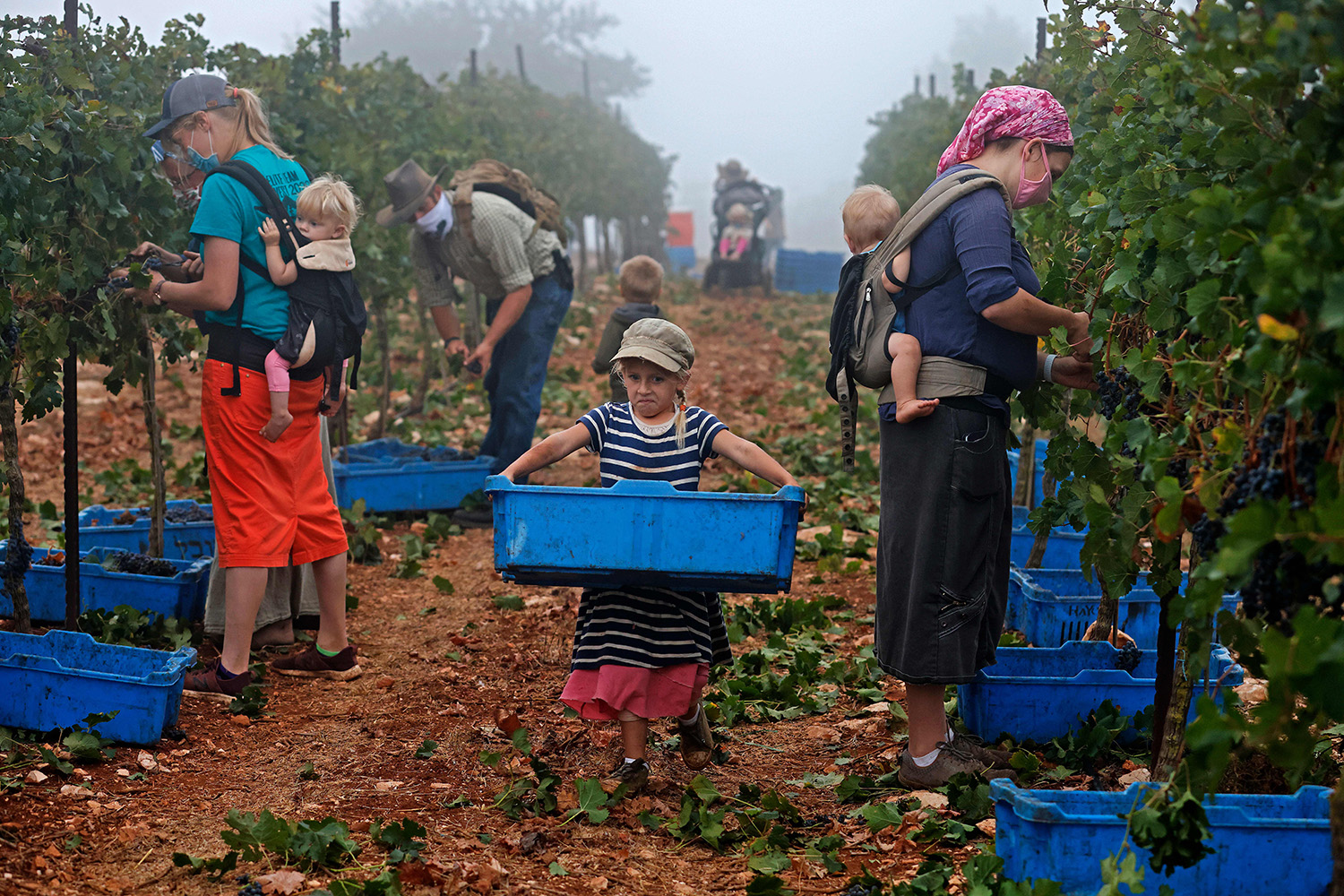 Evangelist Christian volunteers harvest merlot wine grapes for the Israeli family-run Tura Winery in the estate's vineyards in the occupied West Bank Har Bracha settlement on Sept. 23. MENAHEM KAHANA/AFP via Getty Images