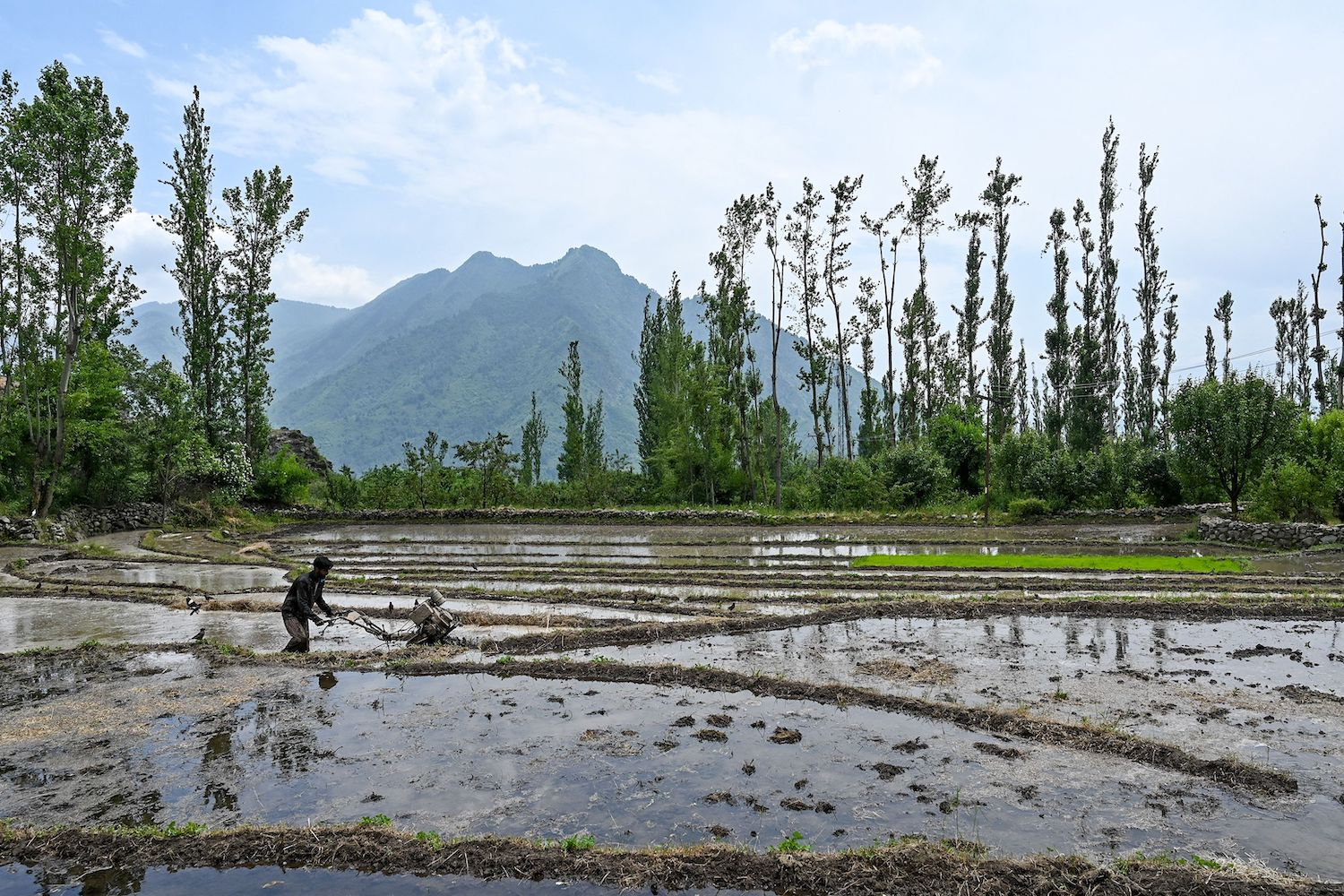 A farmer works in a rice field on the outskirts of Srinagar, Indian-administered Kashmir, on June 11.