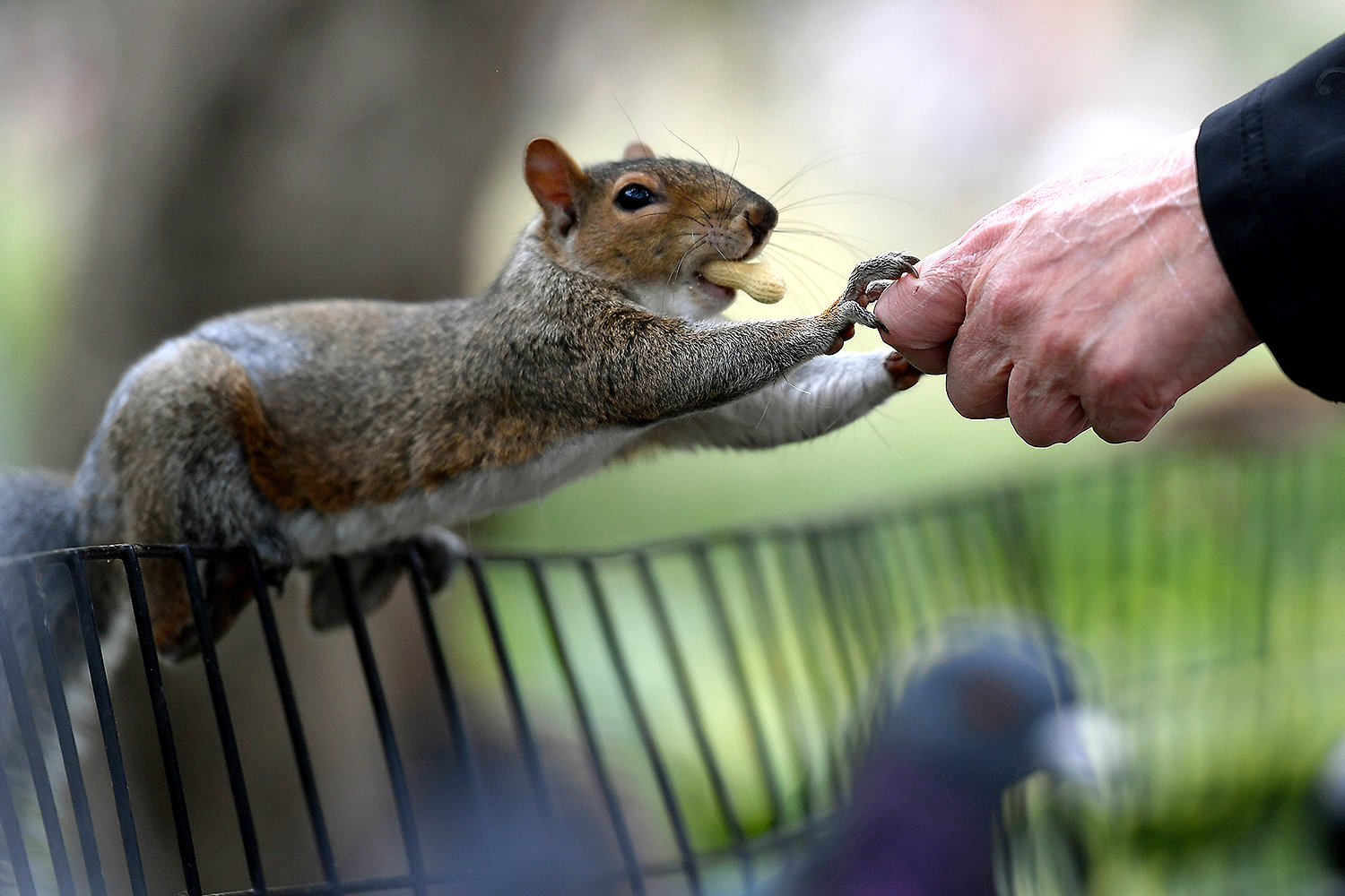 A person feeds peanuts to a gray squirrel in New York City's Washington Square Park on Oct. 7. ANGELA WEISS/AFP via Getty Images