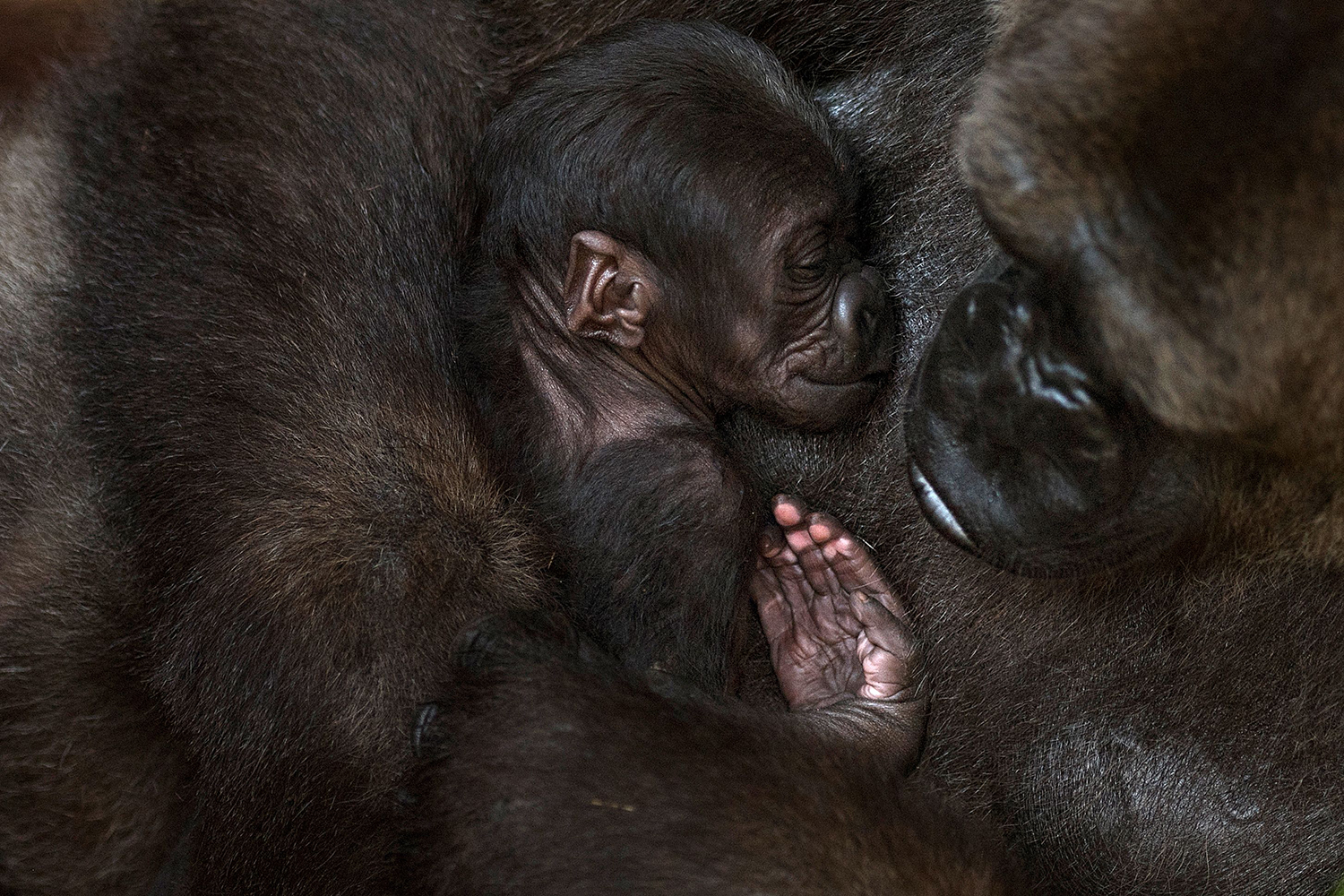 A gorilla named Buu holds its newborn at Bioparc Fuengirola in Spain on Nov. 13. JORGE GUERRERO/AFP via Getty Images