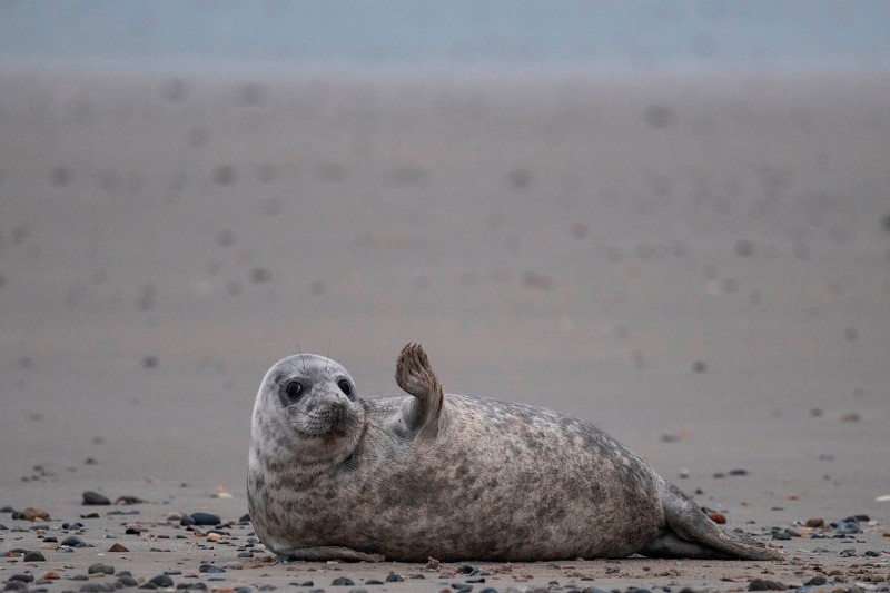 Saying goodbye to 2020. A young seal rests on a beach on the North Sea island of Helgoland, Germany, on Jan. 5. JOHN MACDOUGALL/AFP via Getty Images
