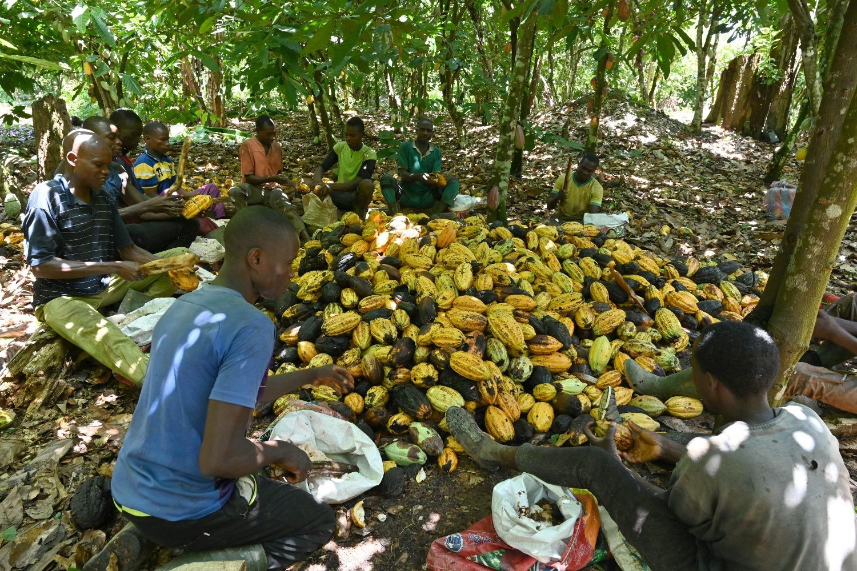 Cocoa farmers break cocoa pods on a plantation near Guiglo, Ivory Coast, on Oct. 10, 2020.