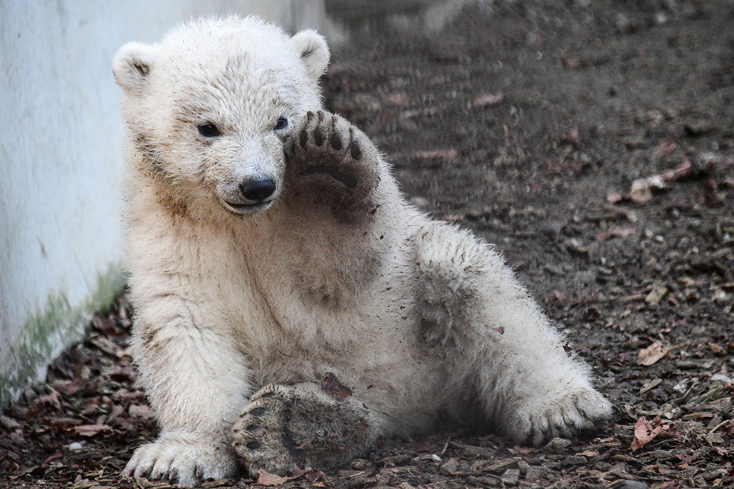 A polar bear cub named Kara plays in her enclosure at the Zoological and Botanical Park in Mulhouse, eastern France, on Feb. 25. SEBASTIEN BOZON/AFP via Getty Images