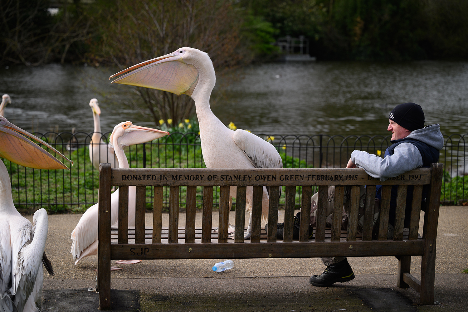 A great white pelican shares a park bench with a man in London on April 1. Leon Neal/Getty Images