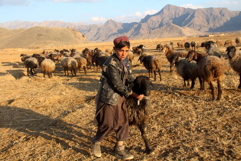 A young shepherd plays with his sheep.
