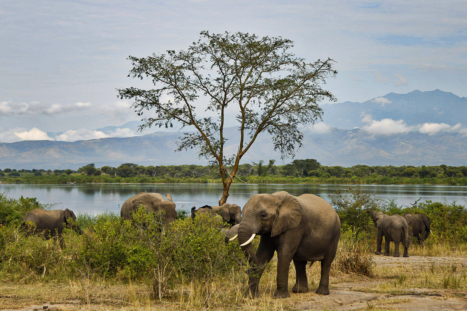 Elephants feed near Lake George in Queen Elizabeth National Park against the backdrop of the Rwenzori Mountains on Feb. 4, 2020.