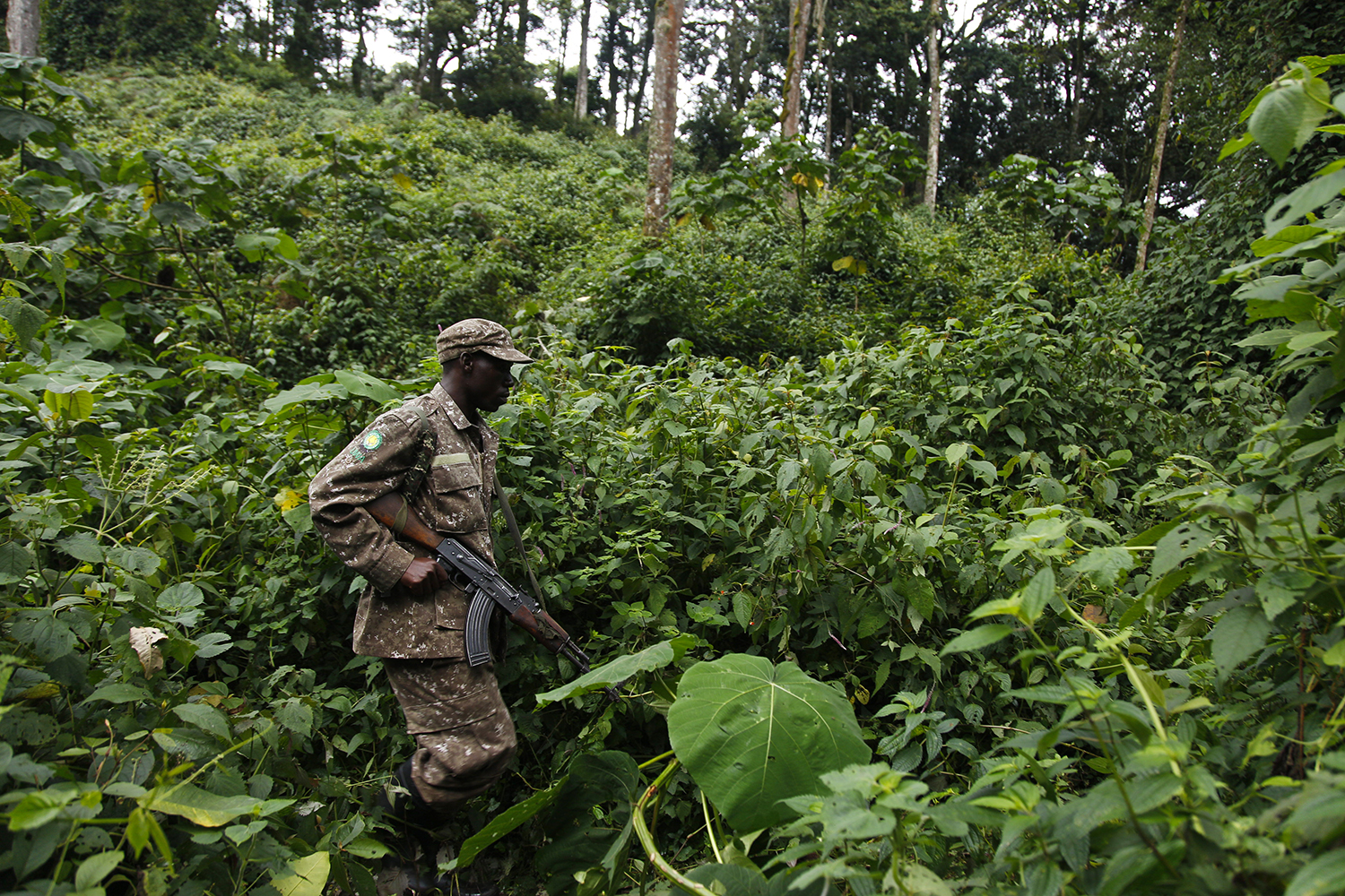 A ranger treks through the Bwindi Impenetrable Forest National Park in Uganda on Feb. 1, 2020.
