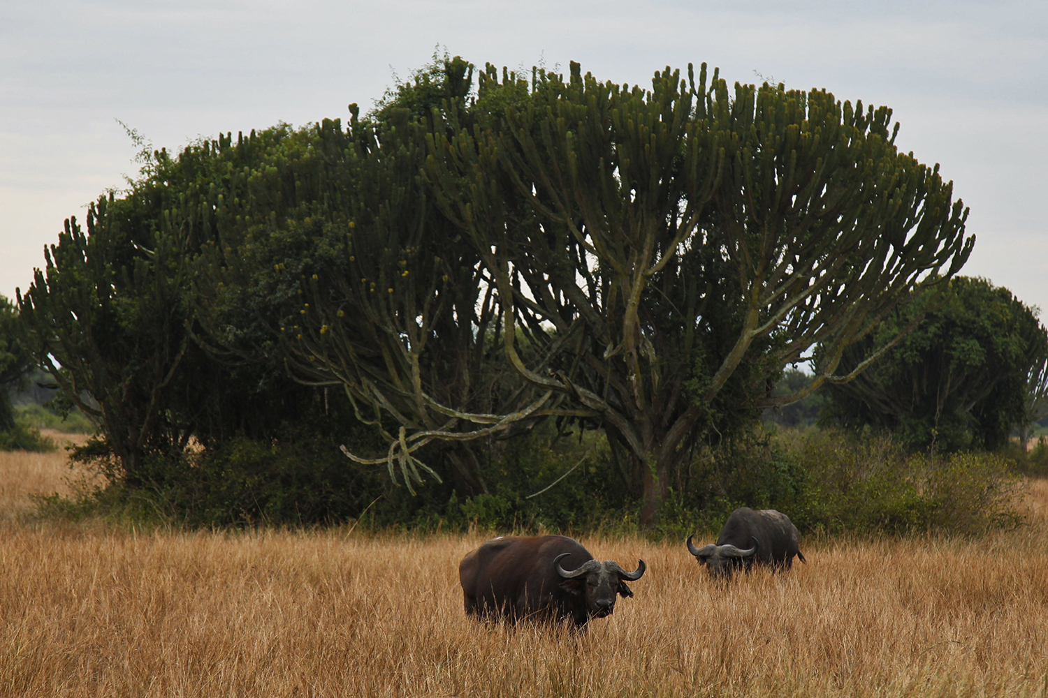Buffaloes graze inside Queen Elizabeth National Park on Feb. 4, 2020.