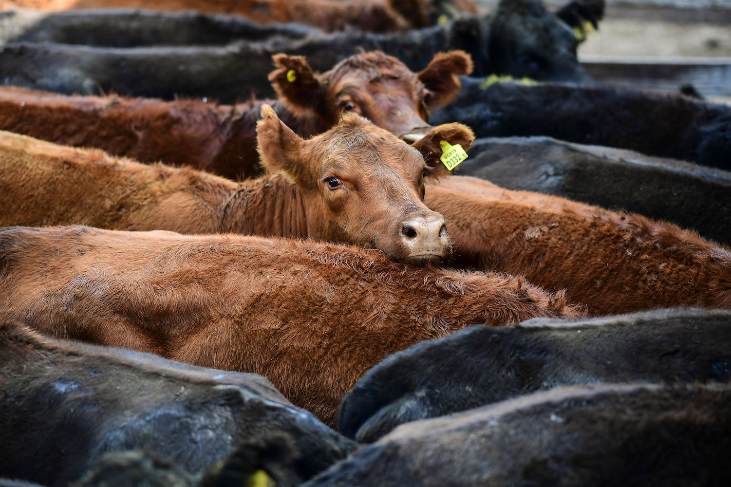 Cows are seen at Liniers Market in Buenos Aires, Argentina on May 18.
